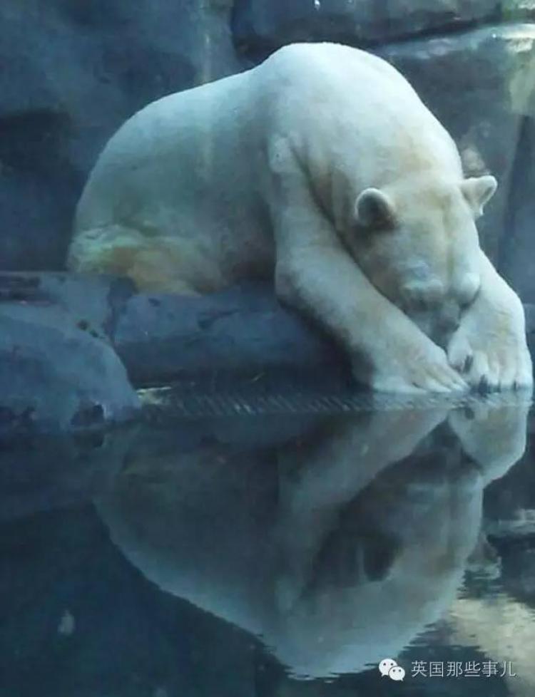 最悲惨的北极熊,它一生被禁锢在热带,曾经50万人想要帮助它,却还是走了...