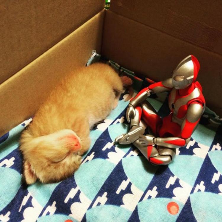 【萌宠】有一只猫在日本超级英雄的陪伴下长大!