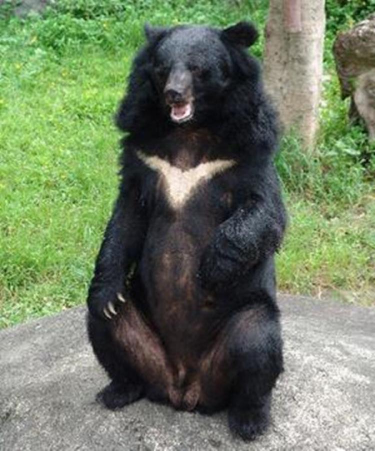 这只熊吃了40罐可卡因,死后31年不变样还成了着名标本