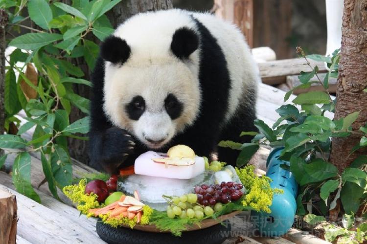据说还有某些没有熊猫的动物园不惜用大象来伪装一解