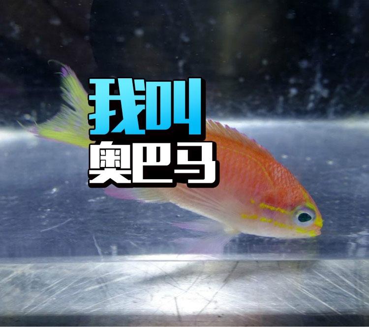 这是一条被叫做奥巴马的鱼