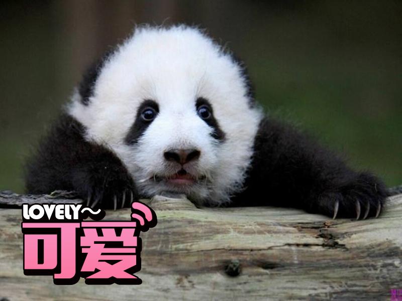 荷兰给熊猫建了座皇宫,国宝在其他国家的待遇也很高端