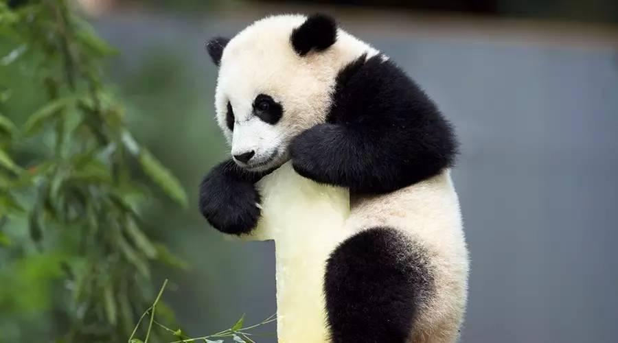 """""""签收""""一只海归大熊猫有多难?"""