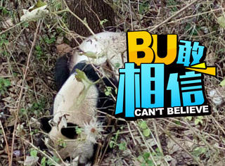 不是吃素的,四川野生大熊猫被发现啃食山羊
