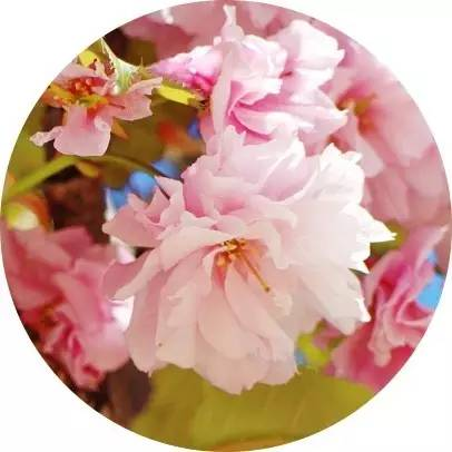 刘嘉玲:美若樱花,才是女人的最高段位