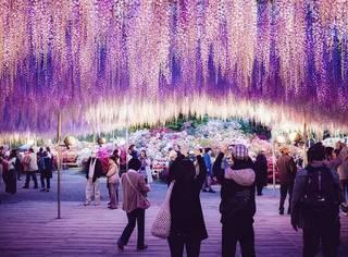 比樱花更迷人,比薰衣草更浪漫!日本的紫藤花已开成花海