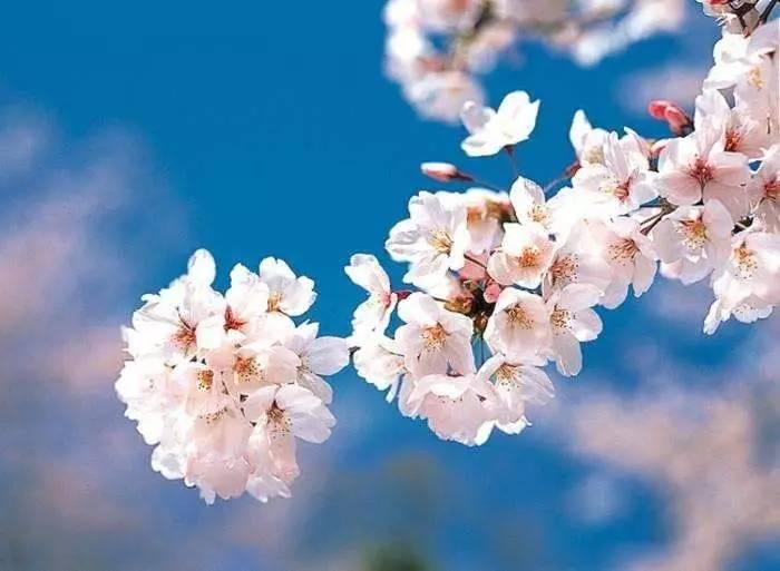 4月的末尾,跟小姐姐一起再看一次今年的樱花季吧~