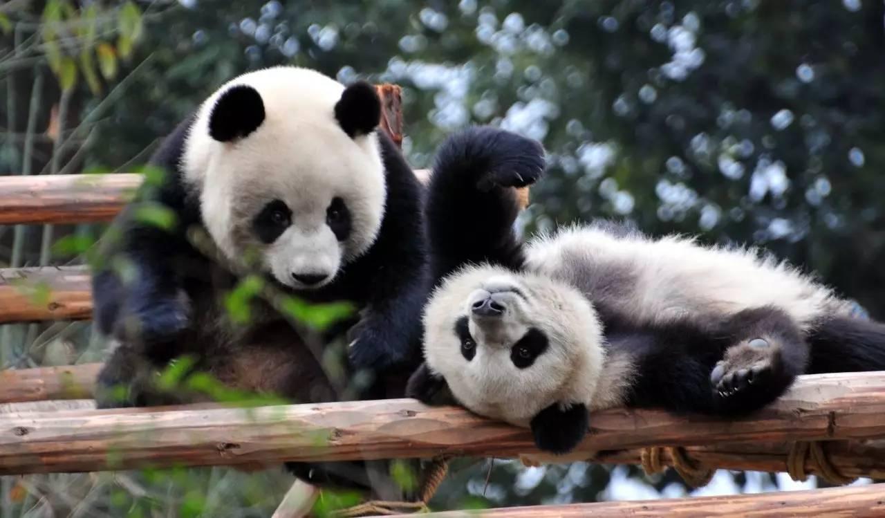 住进造价5100万的宫殿,这2只熊猫简直是去荷兰当皇帝