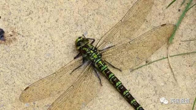母蜻蜓不想啪啪啪,靠装死迷惑追求者