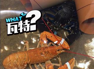 30000000只里才有1只的稀有龙虾原来长这样
