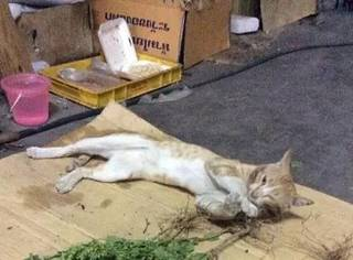 主人去采摘了一堆猫薄荷回来之后,家里猫们就不谈定了,这简直...