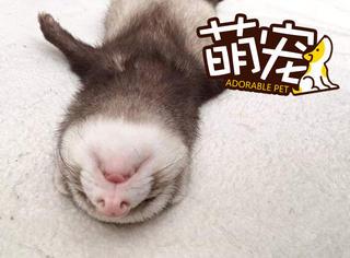 这只雪貂因为睡姿走红,太呆萌可爱了