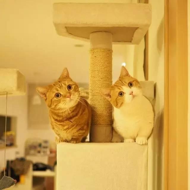 岛国小短腿儿猫兄妹,最大的心愿原来是这个!