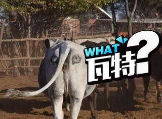 为了防止牛总是死,他们在牛的屁股上画了2只眼睛