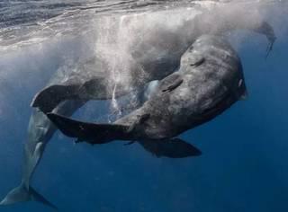 与抹香鲸对话的潜水者