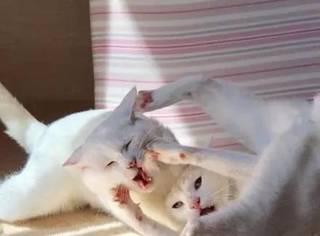 网友拍下两猫打架,场面一度失控,最后一只竟使出了这绝招...