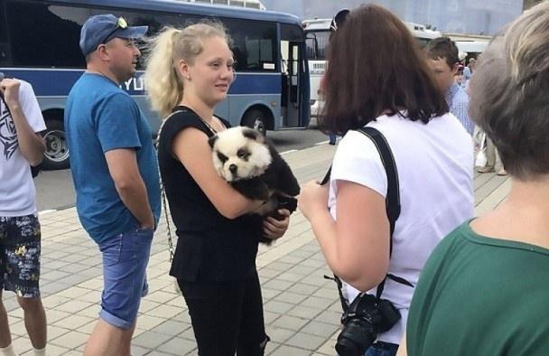 """""""大熊猫""""惊现街头?这只一脸懵逼的松狮宝宝真的好无奈..."""