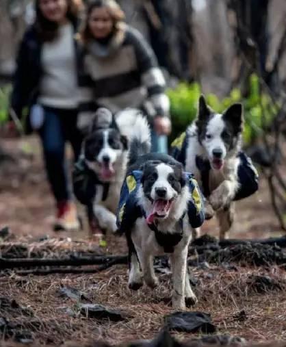 在这片绝望的焦土上,有三只边牧带着希望在奔跑...