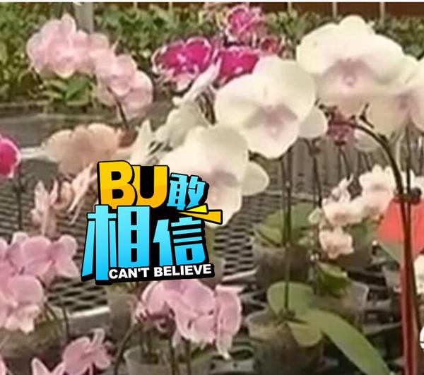 球仅一株的价值2000万的蝴蝶兰被偷