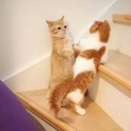 这两只短腿橘猫和橘白猫萌得不行,让网友是每天生活在